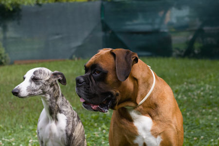 German boxer and whippet, two dogs look sideways