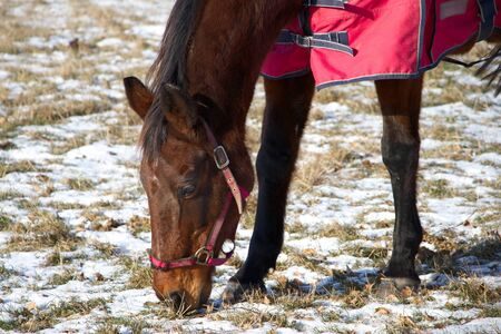 Thoroughbred in a protective blanket on a snowy pasture, grazing young brown horse in winter