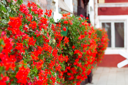 red geraniums on the old stone stable