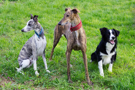 greyhound: Group of dogs in the park, Spanish Galgo, Border Collie and Whippet waiting for a command. Stock Photo