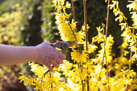 Woman cut forsythia shrub in the bright sun with pruning scissors, cutting flowers in spring time  Stock Photo