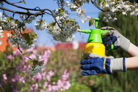 fungicide: Woman with gloves spraying a blooming fruit tree against plant diseases and pests. Use hand sprayer with pesticides in the garden. Stock Photo