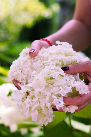 clavados: Mujer con uñas clavadas con flores de hortensia blanca en el jardín. Foto de archivo