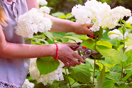 Woman cut a bouquet of flowers white hydrangeas with pruning scissors. Garden work on a blooming hydrangea. Stock Photo