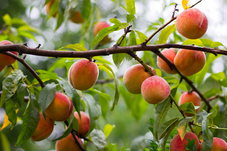 Peaches on a branch of a fruit tree. Ripe organic peaches before harvest in the orchard. Stock Photo