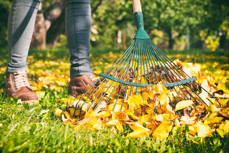Gardener woman raking up autumn leaves in garden. Woman standing with rake. Autumnal work in garden.