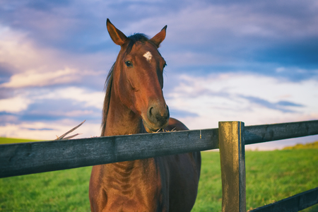 Horse chews the wooden fence. English thoroughbred on the pasture. Portrait of beautiful horse head against the cloudy sky.