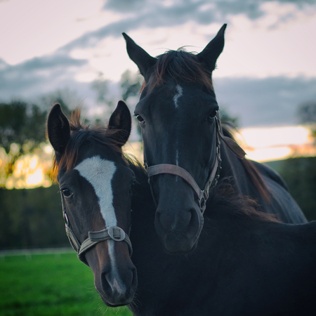 Portrait of mare and her foal. Black horses at sunset. Relationship between horses family. English thoroughbred.