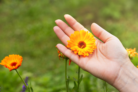 Marigold flower in female hand. (Calendula Officinalis) Woman collects marigold flowers for medical purposes.