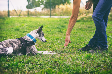 Woman is training her dog to lie down. Whippet dog learns the command to lie down. Cute pet greyhound.  스톡 콘텐츠