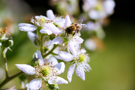 Bees collect nectar from the flowers of blackberries. Bees pollinating blooming bushes of blackberries.  Stock Photo