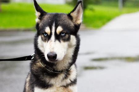 grumpy dog in the rain, siberian husky on a walk in a city at rainy day, cute pet Stock Photo