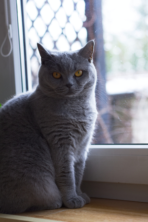 British cat sitting by the window. Cute gray cat. British short-haired cat resting at home  Stock Photo
