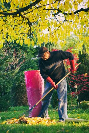Old man raking fallen leaves in the garden, senior man gardening during autumn season, cleaning lawn in backyard under a tree