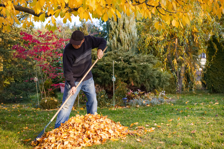 Old man raking fallen leaves in the garden, senior man gardening during autumn season, cleaning lawn in backyard under a tree