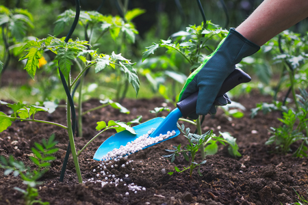 Farmer giving granulated fertilizer to young tomato plants. Hand in glove holding shovel and fertilize seedling in organic garden.  Stock Photo