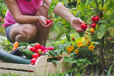 Woman harvesting fresh tomatoes in her organic garden. Homegrown produce of vegetables. Gardener picking up ripe tomato. Wooden crate full of vegetables Banque d'images