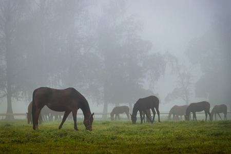 Herd of horses in autumn fog. Horses is grazing on pasture. Stock Photo