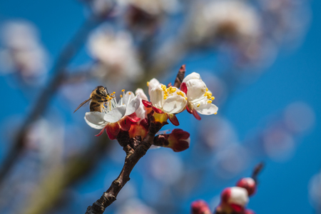 Blooming apricot tree with pollinating bee. Blossom of fruit tree in springtime