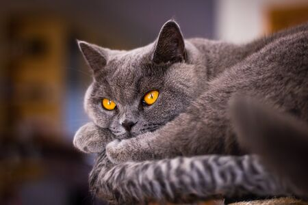 British shorthair cat resting in pet bed. Cute domestic cat with beautiful eyes looking at camera while lying in living room 免版税图像