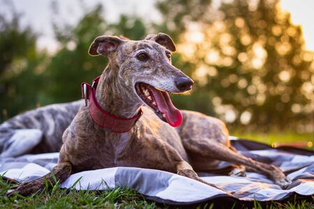 Cute greyhound is resting at blanket outdoors. Spanish Galgo. Purebred dog at sunset