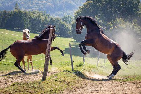 Stallion rearing up outdoors. Herd of horses fighting on pasture. Animal behavior between domestic animals