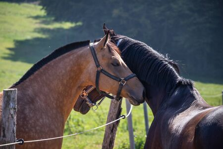 Two horses in love on pasture. Communication between thoroughbred horses. Side view portrait of animal head. Friendship between domestic animals Stok Fotoğraf
