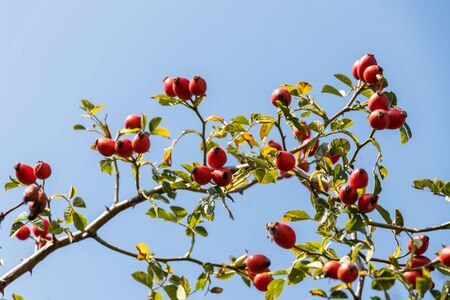 Branch of ripe rose hip, twig of dog rose with red berries. Natural organic berry fruit for alternative medicine, selective focus Stock Photo