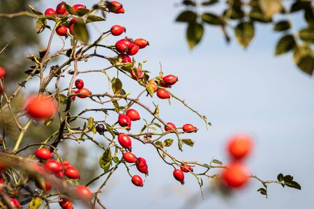 Rose hip against sky, twig of ripe red dog rose berries, selective focus