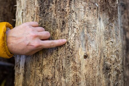 Forester pointing finger to pattern from bark beetle (Ips typographus) on tree trunk. Female hand showing damaged by pests on plant bark