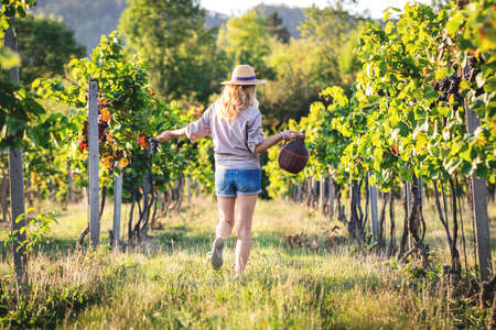 Happy woman with demijohn or carboy at vineyard. Harvest festival. Young woman dancing between grapevine Stock Photo