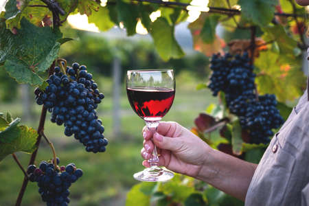 Woman drinking red wine at vineyard. Sommelier tasting homemade wine outdoors. Wineglass in female hand Stock Photo