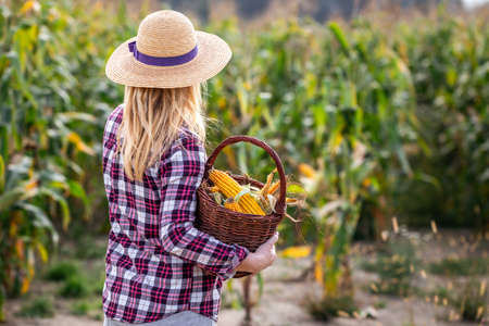 Woman farmer with straw hat holding wicker basket in corn field. Organic food from farm to table concept with woman