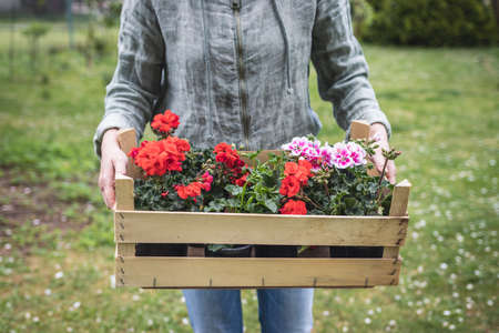 Red and pink pelargonium seedling. Woman holding wooden crate full of colorful geranium flowers in garden