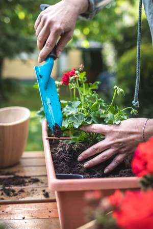 Woman with shovel is putting soil into flower pot. Gardening at spring. Planting geranium flowers into window box in garden