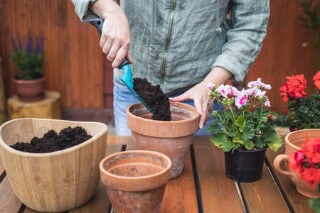 Gardening and planting geranium seedling. Woman planting pelargonium into flower pot on table