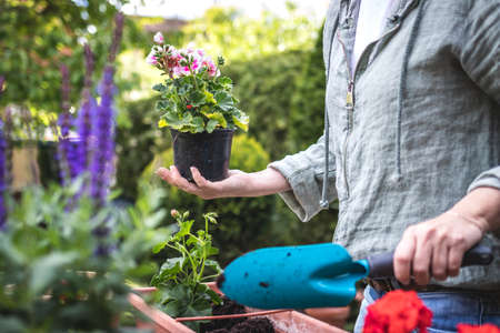 Planting flowers in garden. Woman holding geranium plant and shovel in hands. Gardening at spring