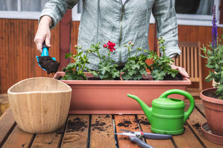 Planting geranium flowers into window box at backyard. Woman with shovel is putting soil in flower pot. Gardening in spring Stok Fotoğraf