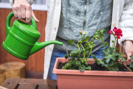 Potting freshly planted geranium plant in flower pot. Watering can in female hand. Gardening at springtime