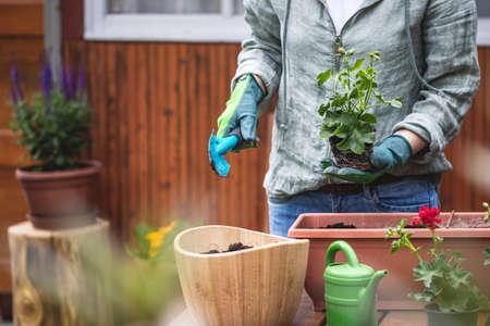 Gardening in spring. Woman planting geranium plant into flower pot. Female gardener holding pelargonium seedling and shovel Stok Fotoğraf