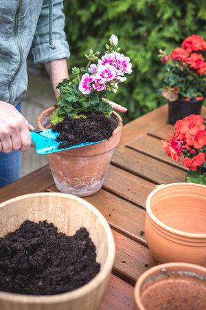 Gardener planting geranium plant into terracotta flowerpot. Woman gardening in spring. Flower pots on wooden table