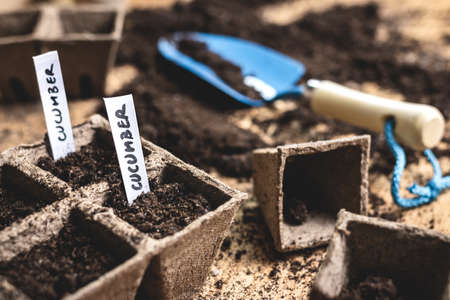 Planting seeds into peat pot on table. Sowing cucumber seed. Agricultural activity in spring. Plant nursery Stok Fotoğraf