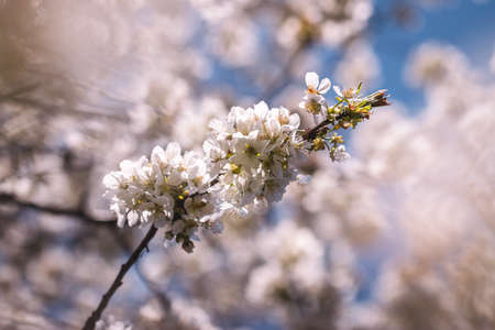 Cherry blossom. Blooming branch of cherry tree at spring. White and pink petal