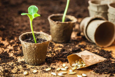 Planting and germinating pumpkin seeds in biodegradable peat pots. Small green seedling for vegetable garden