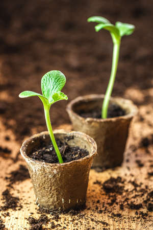 Seedling in peat pot. Potted plant. Growing pumpkin sprout. Planting and gardening at spring