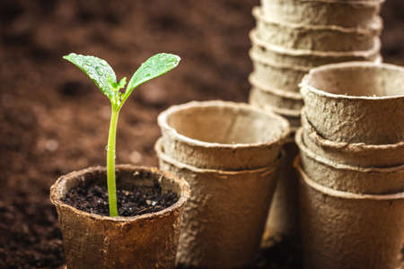 Biodegradable peat pots with seedling of pumpkin plant. Gardening and planting at springtime Stok Fotoğraf