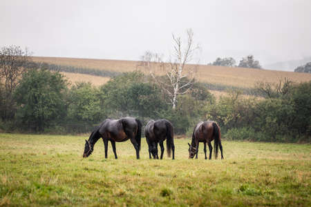 Herd of horses grazing on pasture in rain. Beautiful animals in autumn landscape. Thoroughbred horse at meadow