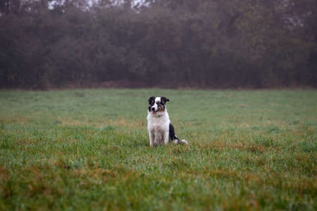 Border Collie sitting in foggy nature. Cute dog in grass outdoors