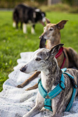 Dogs relaxing on blanket in garden. Whippet, spanish galgo greyhound and border collie in background