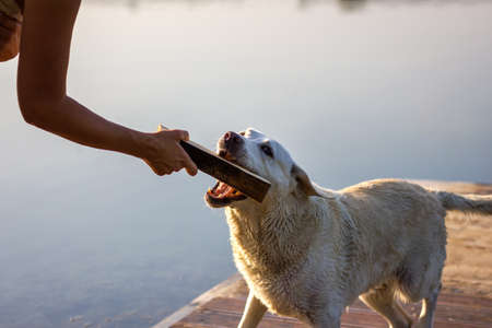 Dog and woman playing with wooden stick. Labrador retriever and pet owner enjoying summer vacation at lake district